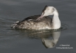 Fuut / Great Crested Grebe / Podiceps cristatus