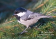 Zwarte Mees / Coal Tit / Parus ater