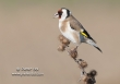 Putter / Goldfinch / Carduelis carduelis
