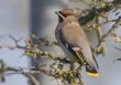 Pestvogel / Waxwing / Bombycilla garrulus