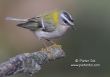 Vuurgoudhaan / Firecrest  / Regulus ignicapillus