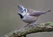 Kuifmees / Crested Tit  / Lophophanes cristatus