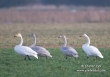 Wilde zwaan /  Whooper Swan  / Cygnus cygnus