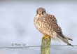 Torenvalk / Kestrel / Falco tinnunculus