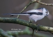 Staartmees/ Long-tailed Tit / Aegithalos caudatus