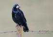 Roek / Rook / Corvus frugilegus