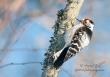 Kleine Bonte Specht / Lesser Spotted Woodpecker / Dendrocopos minor