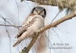 Sperweruil / Hawk Owl / Surnia ulula