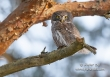 Dwerguil / Pygmy Owl / Glaucidium passerinum