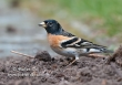 Keep / Brambling / Fringilla montifringilla