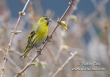 Sijs / Eurasian Siskin / Carduelis spinus