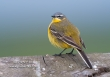 Gele Kwikstaart / Yellow Wagtail / Motacilla flava