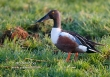 Slobeend / Northern Shoveler / Anas clypeata