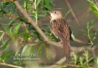 Sprinkhaanzanger / Grasshopper Warbler / Locustella naevia
