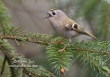 Goudhaan / Goldcrest / Regulus regulus