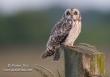 Velduil / Short-eared Owl / Asio flammeus