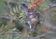 Kramsvogel / Fieldfare / Turdus pilaris