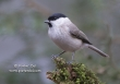 Glanskop / Marsh Tit / Parus palustris