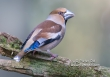 Appelvink  / Hawfinch / Coccothraustes coccothraustes