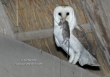 Kerkuil / Barn Owl / Tyto alba