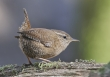 Winterkoning  / Northern Wren /  Troglodytes troglodytes